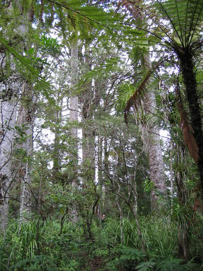 Kauri Tree Forest near Kerikeri, New Zealand
