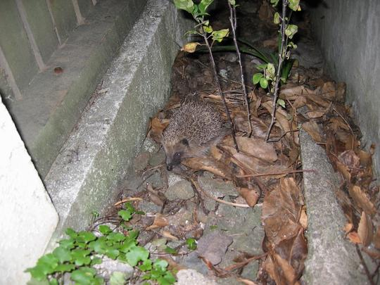 Hedgehog, St Heliers