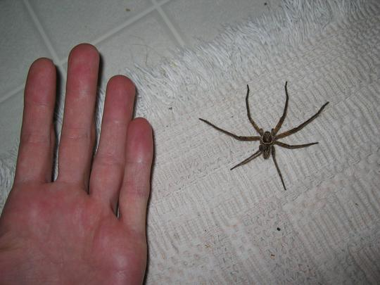 Maui spider and hand