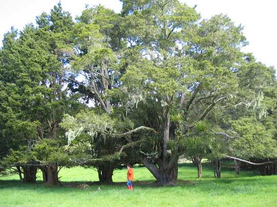 Another Kerikeri Tree