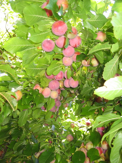 New Zealand Plums
