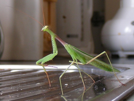 Auckland Praying Mantis