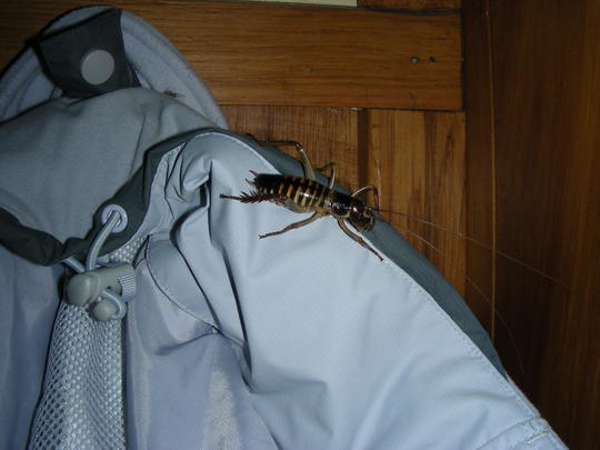 New Zealand Weta on Coat