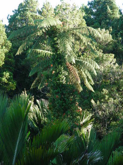 Tree Fern, Punakaiki, New Zealand